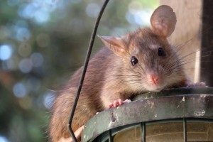Rat Infestation, Pest Control in Hampstead, NW3 . Call Now 020 8166 9746