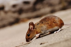 Mouse extermination, Pest Control in Hampstead, NW3 . Call Now 020 8166 9746